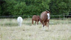 与长的鬃毛吃草在领域的一白色和两栗子或者棕色马在森林附近 影视素材