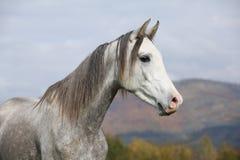 与长的鬃毛的好的阿拉伯公马在秋天 图库摄影