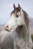 与长的鬃毛的好的阿拉伯公马在秋天 免版税库存照片