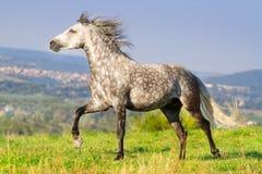 与长的鬃毛的灰色马 库存图片