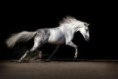 与长的鬃毛的白马 库存图片