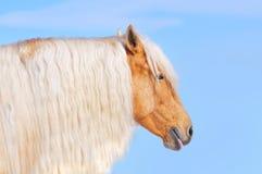 与长的鬃毛的巴洛米诺马马 免版税库存图片