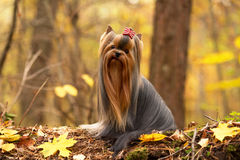 与长的头发的典雅的约克夏狗 免版税库存照片