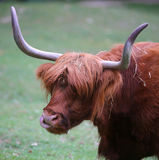 与长的头发的大牦牛,当吃草草坪时 库存照片