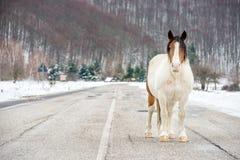与长的头发的白色和棕色马在路 库存图片