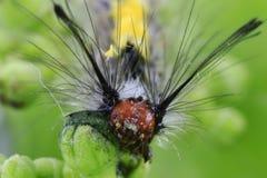 与长的头发的蝴蝶caterpVery小蝴蝶毛虫在身体 与毛皮的清楚的heaillars在身体中 免版税库存图片