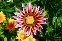 与长的紫色瓣的大花 库存图片