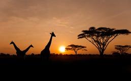 与长颈鹿剪影的落日在徒步旅行队的 免版税图库摄影