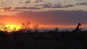 与长颈鹿的克鲁格日落 库存照片