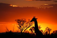 与长颈鹿的克鲁格日落 免版税库存照片