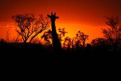 与长颈鹿的克鲁格日落 图库摄影