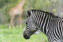 与长颈鹿的斑马在背景中 免版税库存图片