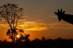 与长颈鹿的日落视图在Okanvango 库存照片