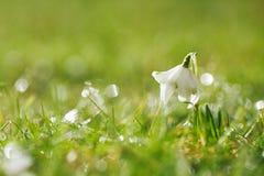 与闪烁的草的Snowdrops花 免版税库存图片