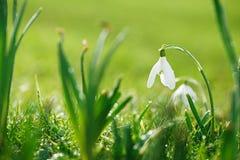 与闪烁的草的Snowdrops花 免版税图库摄影