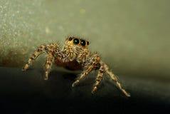 与闪耀的眼睛的一只跳跃的蜘蛛 库存照片