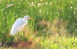 与闪耀的露水的白鹭 免版税库存照片