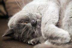 与闭上的一只眼睛的灰色英国猫 免版税库存图片
