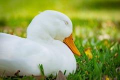 与闭上的眼睛的Pekin鸭子 免版税库存照片