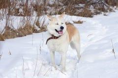 与闭合的眼睛和伸出舌头的一条甜日本人秋田Inu狗在森林在雪和干草中的冬天 免版税图库摄影