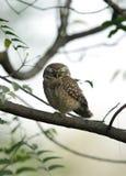 与闭合的眼睛的被察觉的猫头鹰之子 免版税库存照片