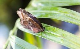 与闭合的翼的蓝色Morpho peleides蝴蝶喝水fr 库存图片
