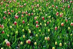与闭合的芽的许多桃红色和黄色郁金香在的草 免版税图库摄影