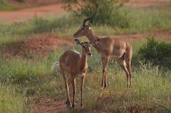 与防御的两只飞羚 库存照片