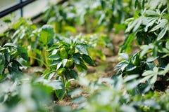 与防护混合物盆射的胡椒植物 免版税库存图片