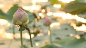 与阳光反射的桃红色莲花水表面上 影视素材