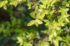与阳光和拷贝空间的Cuphea hyssopifolia Kunth 库存图片
