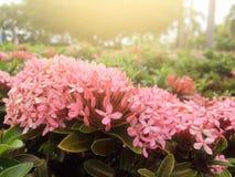 与阳光照明设备的桃红色Ixora花早晨 库存图片