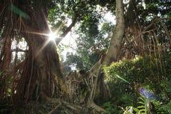 与阳光的印度榕树 免版税库存图片