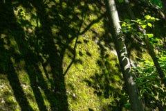 与阳光的树在生苔墙壁背景特写镜头自然Gree 库存照片