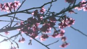 与阳光的桃红色樱花树在天空蔚蓝 影视素材