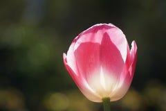 与阳光的桃红色郁金香通过瓣 免版税库存照片