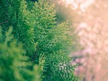 与阳光的绿色杉木在庭院里 免版税图库摄影