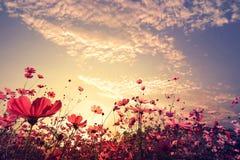 与阳光的美好的桃红色和红色波斯菊花田 库存照片
