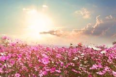 与阳光的美好的桃红色和红色波斯菊花田 免版税库存图片