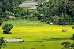 与阳光的绿色露台的米领域 免版税库存图片