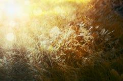 与阳光,自然本底,关闭的黄色秋天草 免版税库存图片