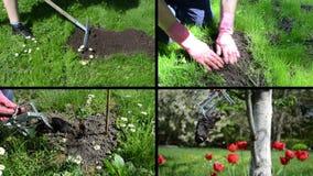 与陷井的战斗的痣啮齿目动物在庭院里 录象剪辑拼贴画 股票视频