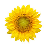 与隔绝的向日葵在白色背景 库存图片