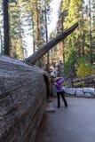 与隧道的下落的美国加州红杉 免版税图库摄影
