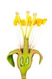 与雄芯花蕊和雌蕊的花模型 免版税图库摄影
