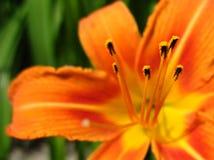与雄芯花蕊的橙色花 库存图片
