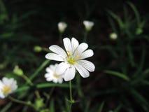 与雄芯花蕊的白花,特写镜头视图 免版税库存照片