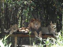 与雌狮的狮子 免版税图库摄影