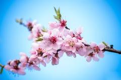 与雌蕊的桃子花 图库摄影
