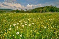 与雏菊的Ð美丽如画的领域 免版税图库摄影